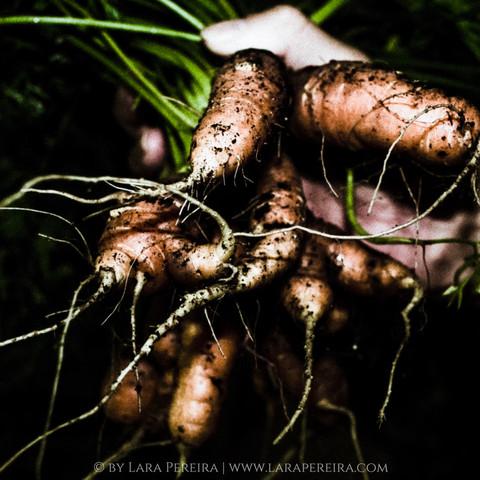 """Handful of Carrots"""