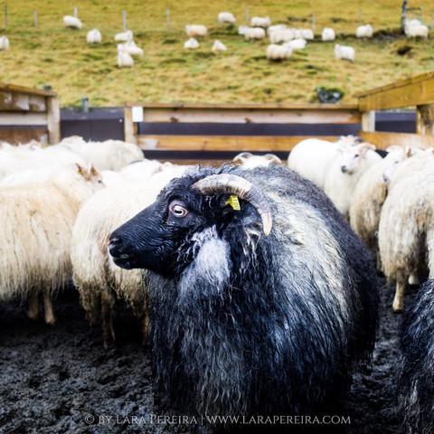 """Icelandic Sheep"""