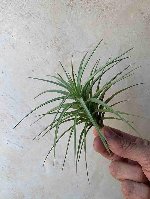 Tenuifolia