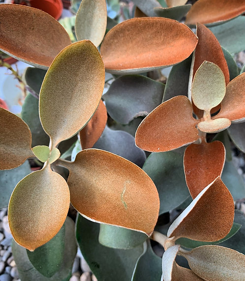 """Kalanchoe Orgyalis """"Copper Spoons"""""""