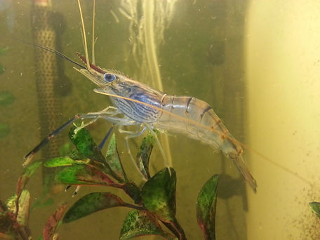 Freshwater Prawns, Freshwater Shrimps, Aquaponics, Aquarium, Aquatic Life, Invertebrate, Fish Tank, Organic food