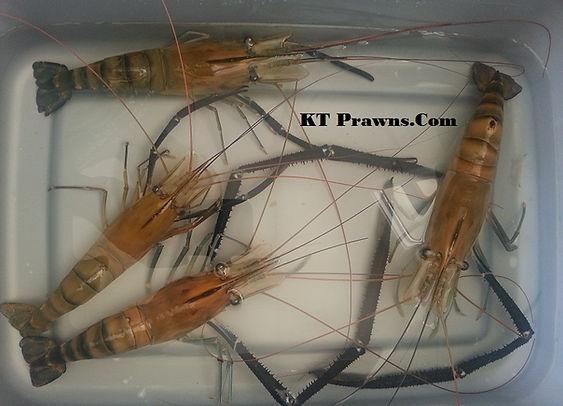 Freshwater Prawns, Freshwater Shrimps, Aquaponics, Aquarium, Aquatic Life, Invertebrate, Fish Tank, Organic food