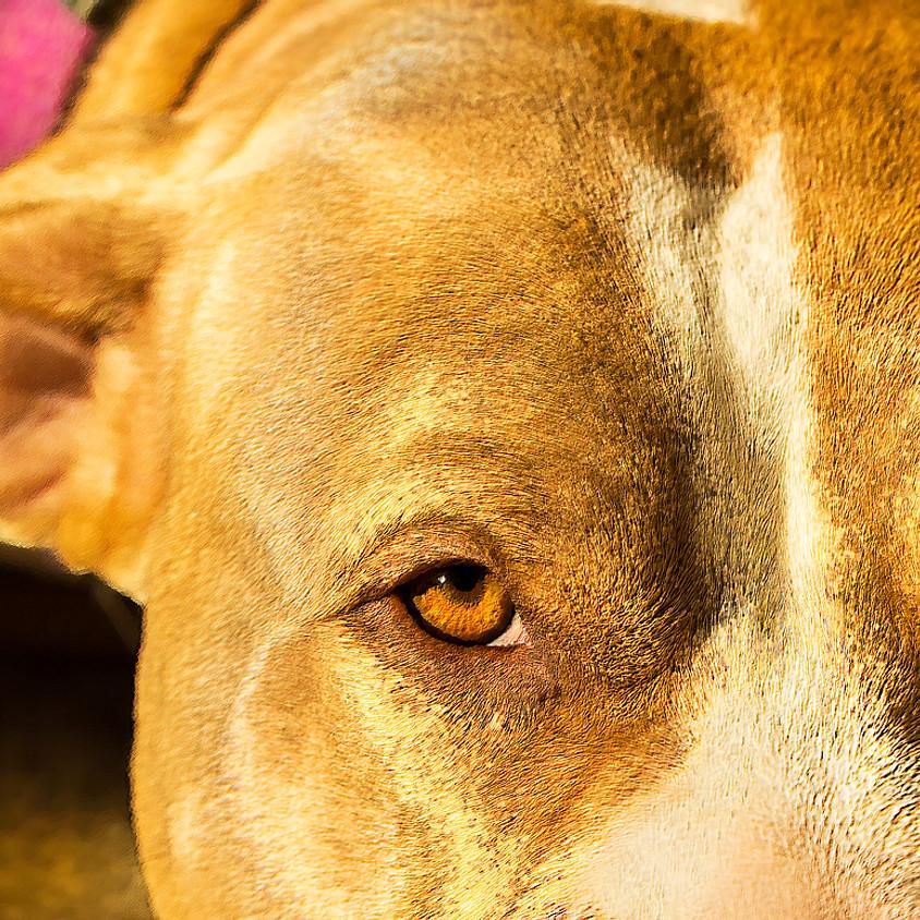 Permis de détention chien catégorisé