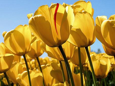 Campainhas amarelas. Yellow bells.