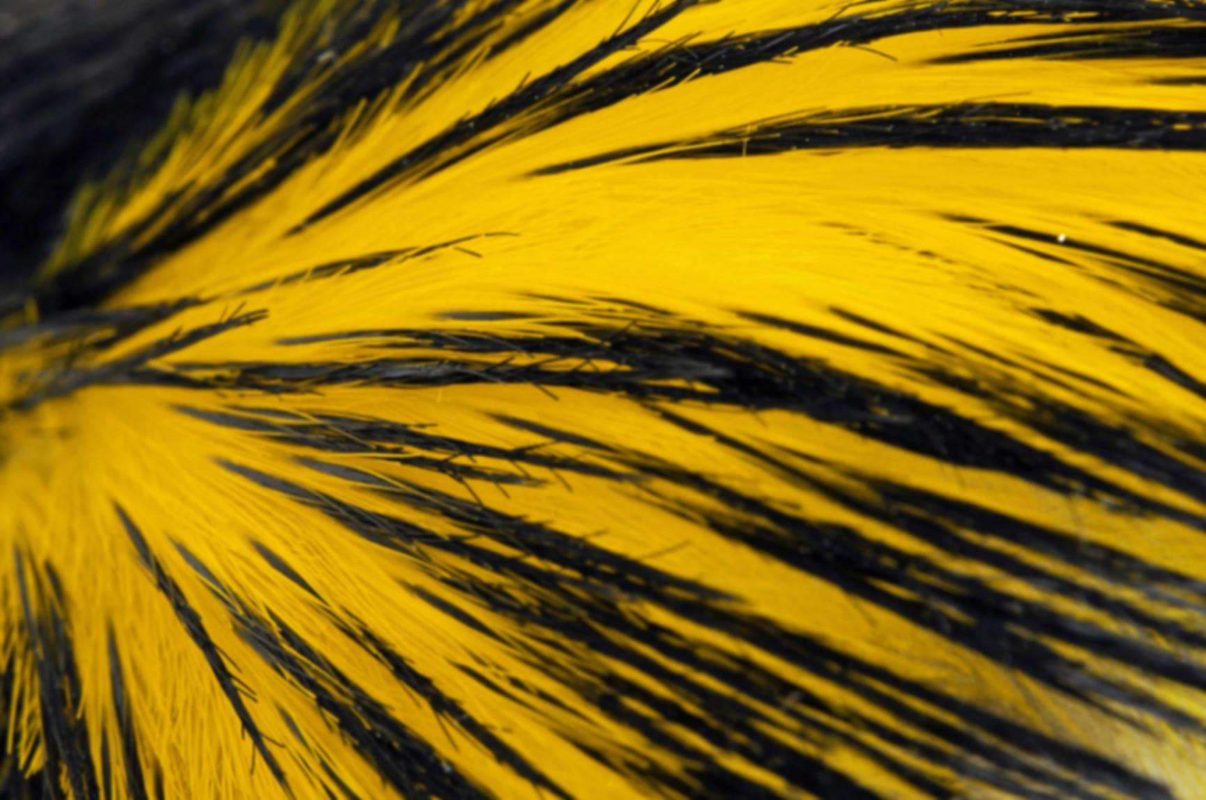 fond ecran plumes noires et jaunes.jpg