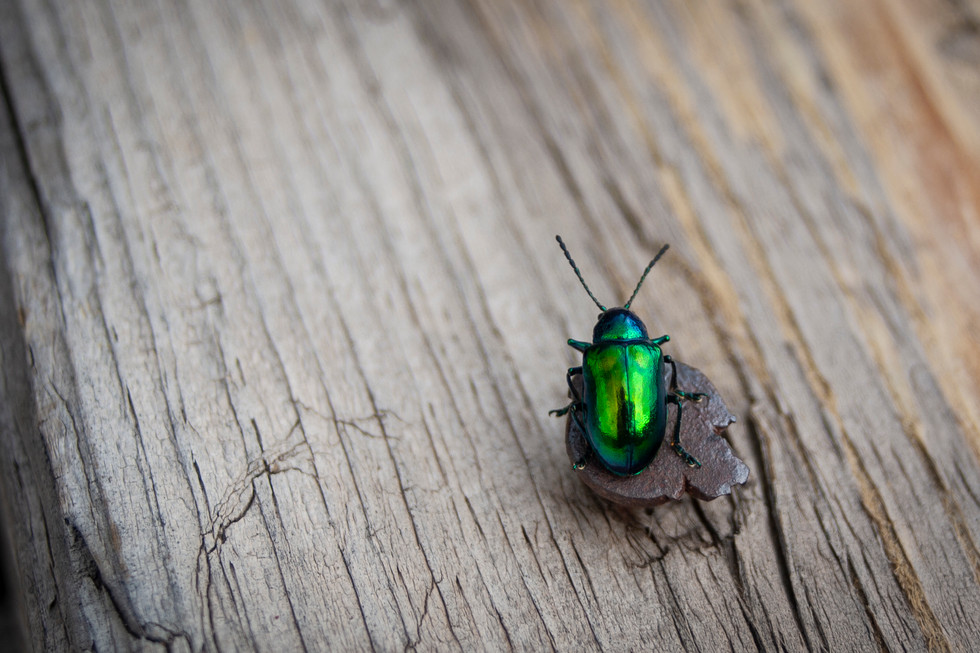 Tiny Flea Beetle