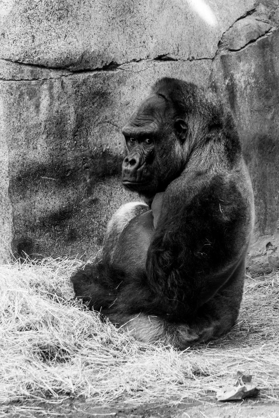 Fort Worth Zoo Gorilla