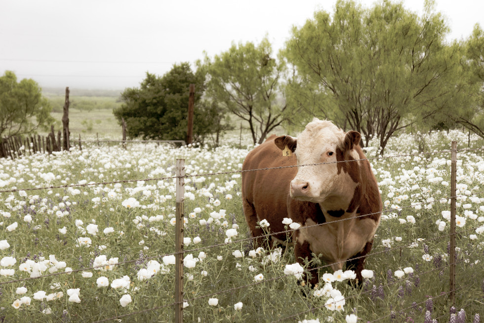 Cow In Wildflowers