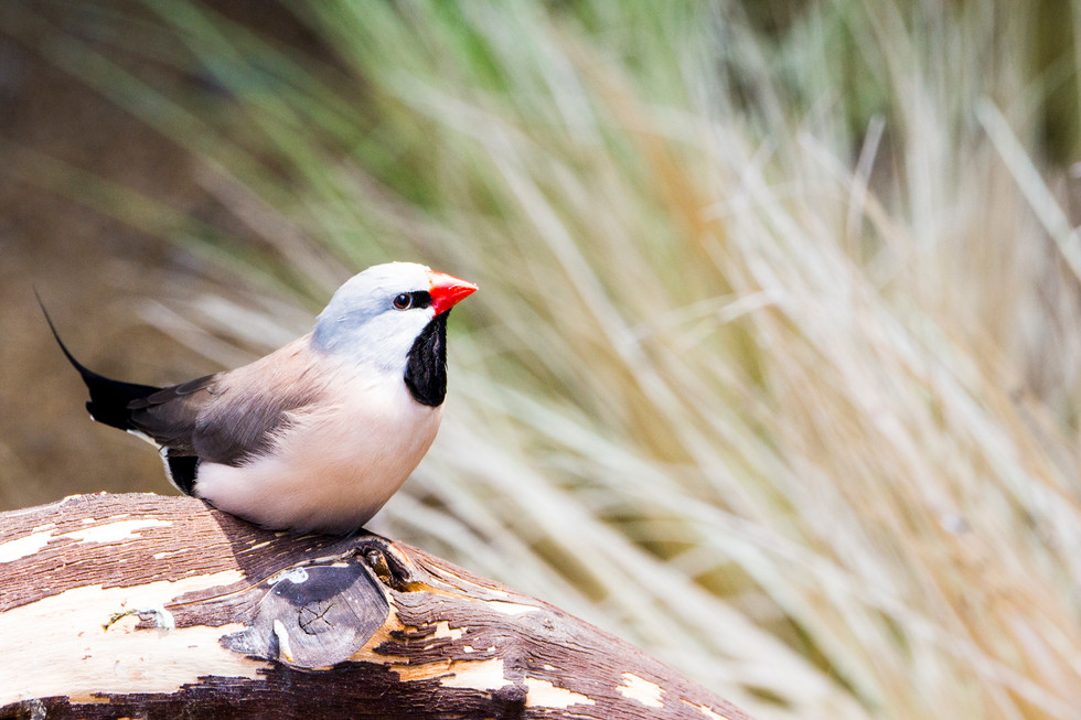 Shaft-Tailed Finch