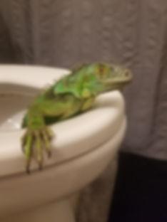 Iguana in toilet.jpg