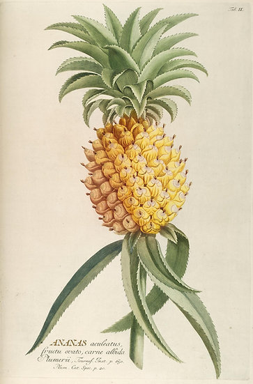 Vintage Botanical Pineapple Postcard