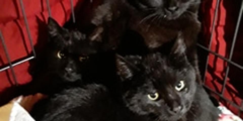 Cat & Kitten Virtual Meet & Greet