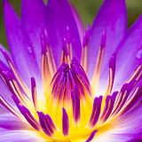 Purple Water Lilly.jpg