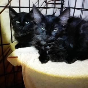 Long Haired Kittens Bonded Pair