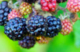 blackberry-fruits-P6PMYD2.jpg
