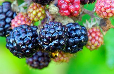 blackberry-fruits-P6PMYD2.jpg
