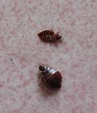 bedbug control/ MCW