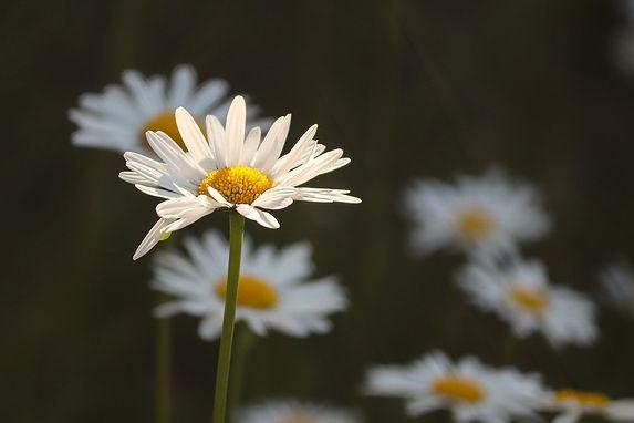 daisies-5232284_1280.jpg