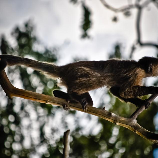Venezuelan Monkey