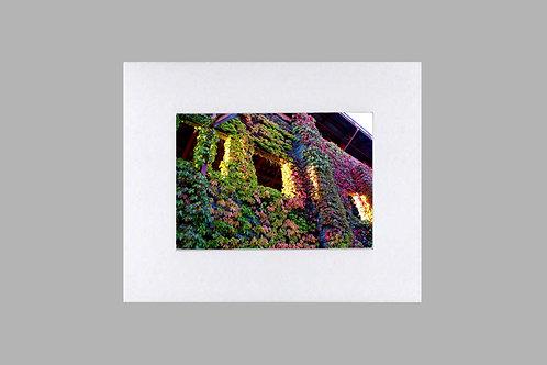 20 x 24 Matted Print - Autumn Vine Climbing Brick Wall