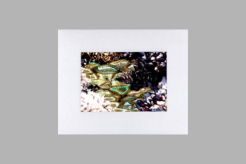 20 x 24 Matted Print - Anemones