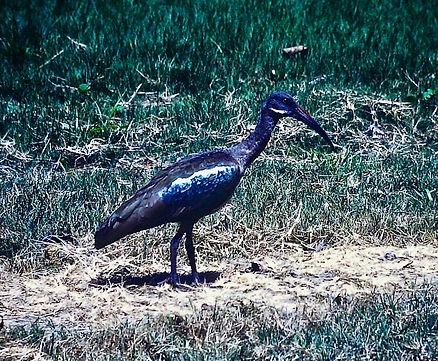 Hadada Ibis 01a, Kenya, 6-12-88.jpg