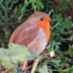 Robin 04a, Portishead, 20_10_15.jpg