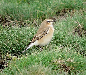 Wheatear 08a, Northwick Warth, 10-9-13.j