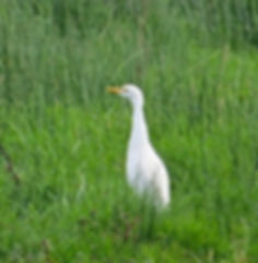Cattle Egret 191022-02, Catcott Lows.jpg
