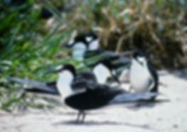 Sooty Tern 02a, Michaelmas Cay, Aust, 18