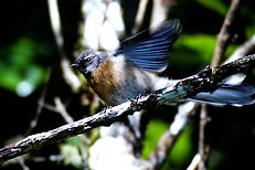 New Zealand Fantail 01aa, New Zealand, 1