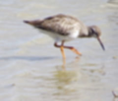 Redshank 18907-3, juv, Slimbridge, 7_9_1