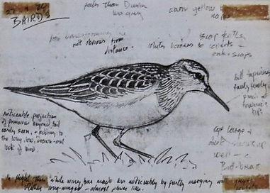Baird's Sandpiper, LAT 01, Davidstow, 27