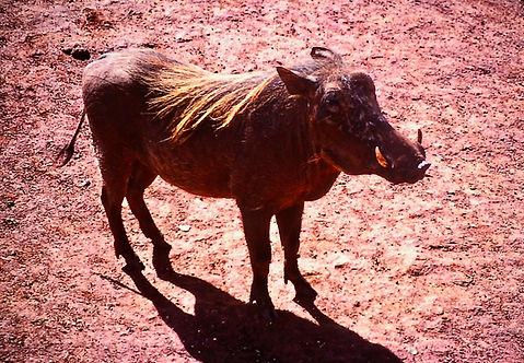 Warthog 03a, Tsavo, Kenya, 5_12_88.jpg