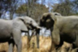 African Elephant 26a, Zimbabwe, 9_98.jpg
