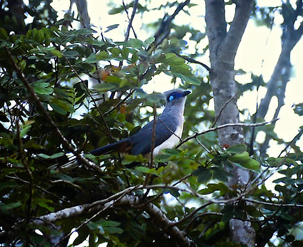 Crested Coua 01, Berenty, Madagascar, 4_