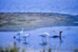 Egrets american 01a, Virginia, 22-10-87.