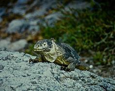 Land Iguana 04a, South Plaza, Galapagos,