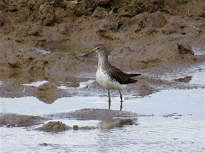 Green Sandpiper 177-03, Slimbridge, 27_7