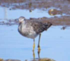 Lesser Yellowlegs 190326-25, Lodmoor.jpg