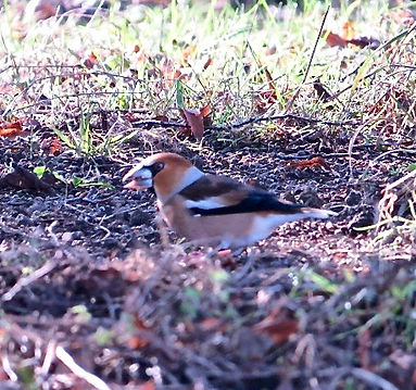 Hawfinch 190215-03, female, Forest of De
