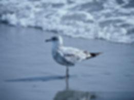 Ring-billed Gull 03a, Carolina, 31-10-87