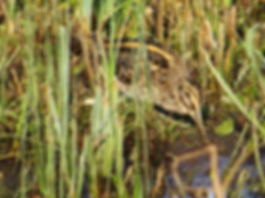 Jack Snipe 190108-05, Slimbridge.jpg