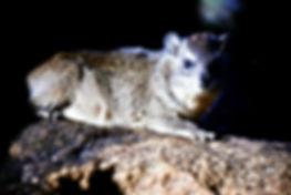 Black-necked Rock Hyrax 01a, Kenya, 12_8