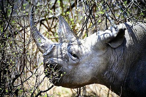 Black Rhinoceros 05a, Zimbabwe, 9_98.jpg