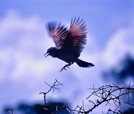 Red-winged Lark 02a, Tsavo, Kenya, Dec'8