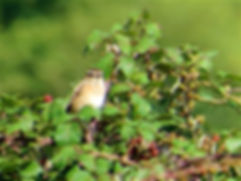 Whinchat 170803, Chipping Sodbury Common