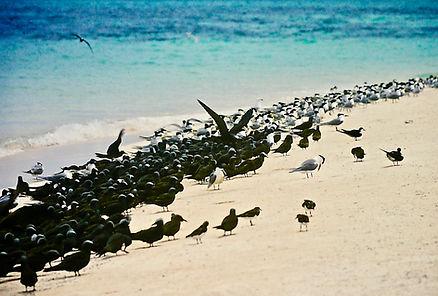 Common Noddy 02a, Michaelmas Cay, Aust,