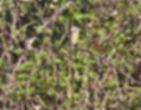 Whinchat, Chipping Sodbury Common, 21_4_