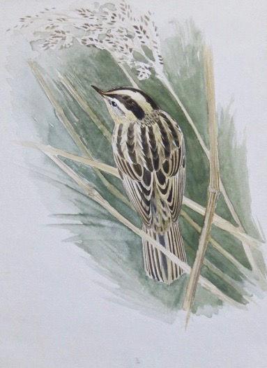Aquatic Warbler, LAT 02, Marazion, 25_10